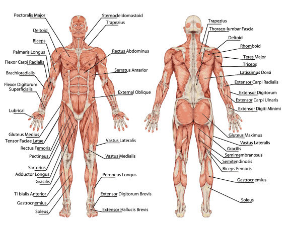class theme: anatomical position in yoga poses - bare bones, Human Body